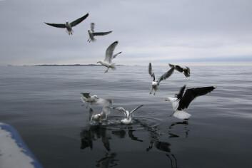 SISTE SKRIK: Måkene kaster seg over agnet som består av renskåret makrell.