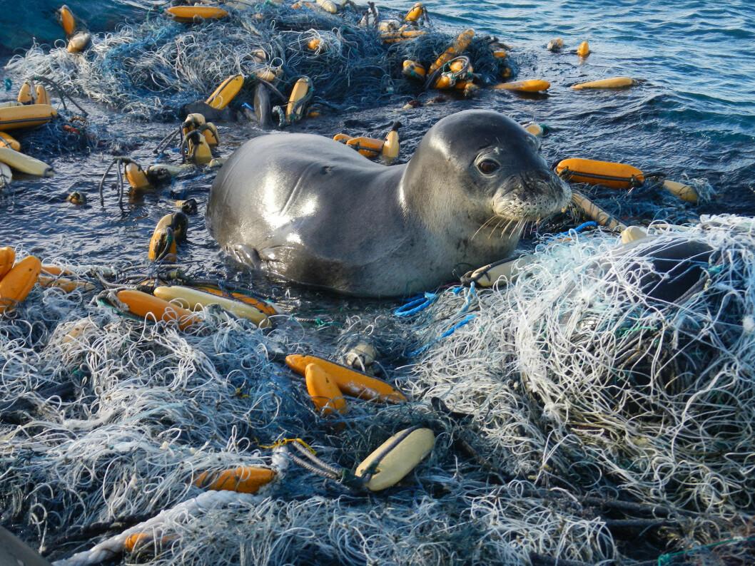 GARNRESTER: En sel har forvillet seg inn i rester av garn som er forlatt av fiskerne som har satt det ut. Også fiskerne bidrar til plastforsøplingen av havet.