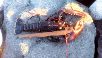 Skal du fiske hummer? Her er reglene du bør kunne