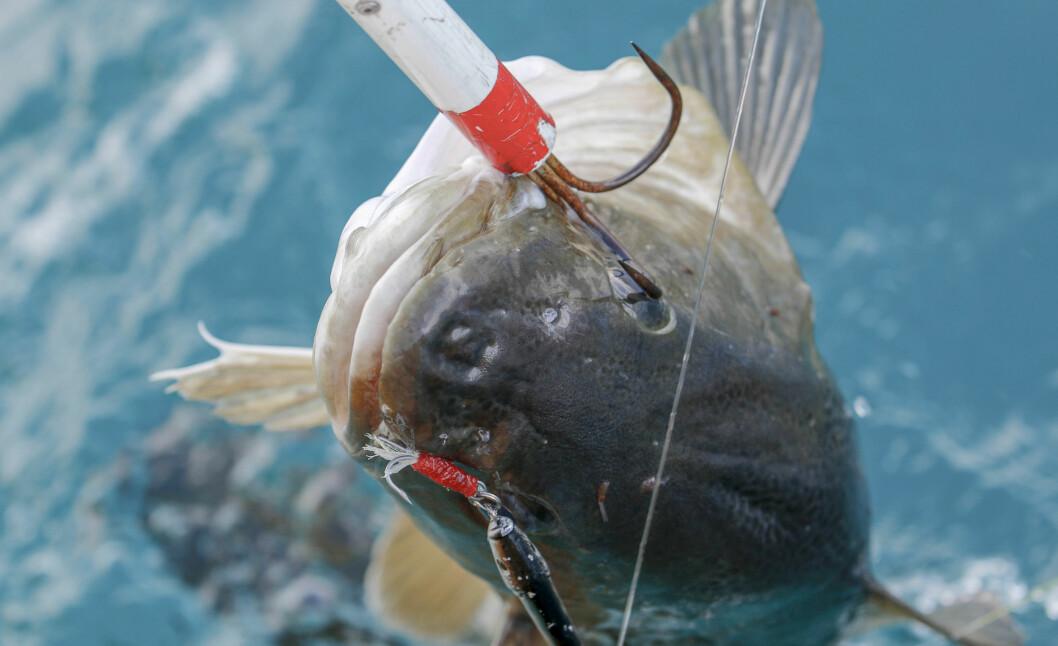 FORBUDT: Fra 15. juni er torskefiske forbudt store deler av kysten.