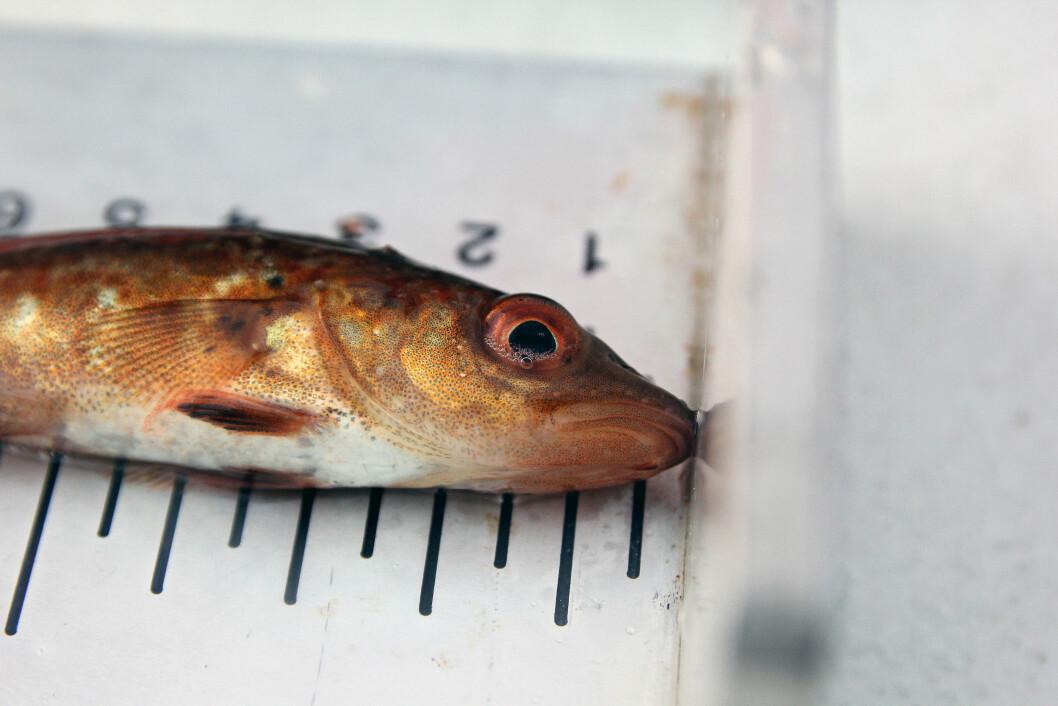 Det står dårlig til med nullåringene i sør. Akkurat denne torsken ble veid, målt og sluppet uti igjen utenfor Smøla i 2018.