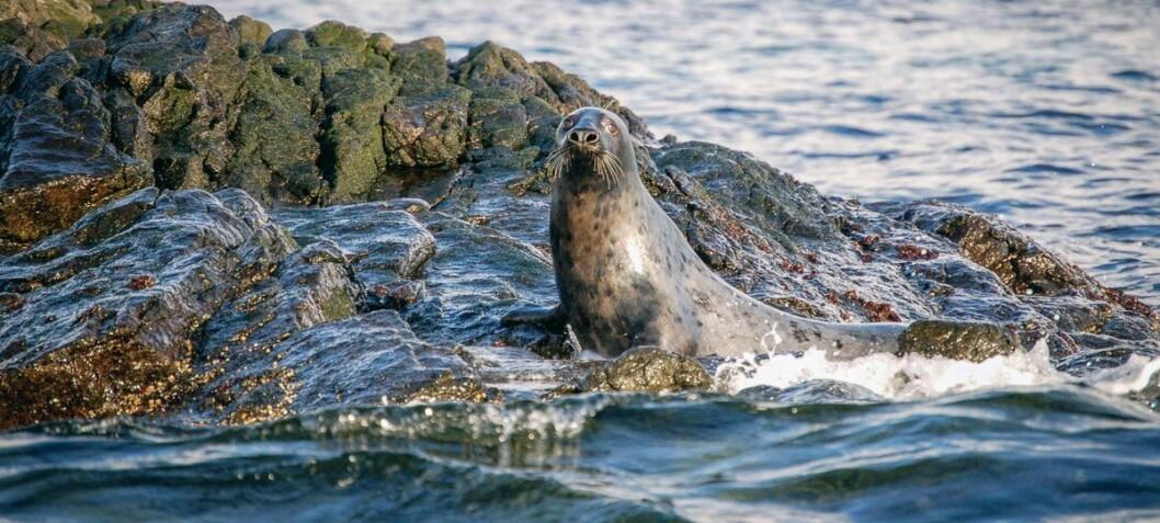 Nå vet forskerne hvor mye fisk denne krabaten spiser