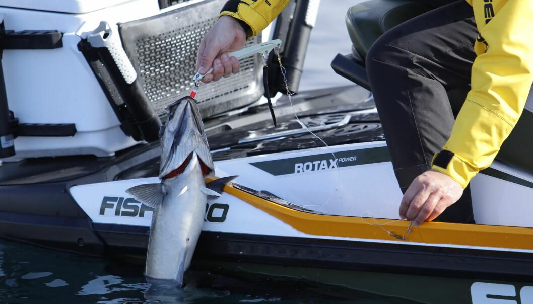 FANGST: Vannscooteren er overraskende stødig, og fisk trekkes trygt om bord.