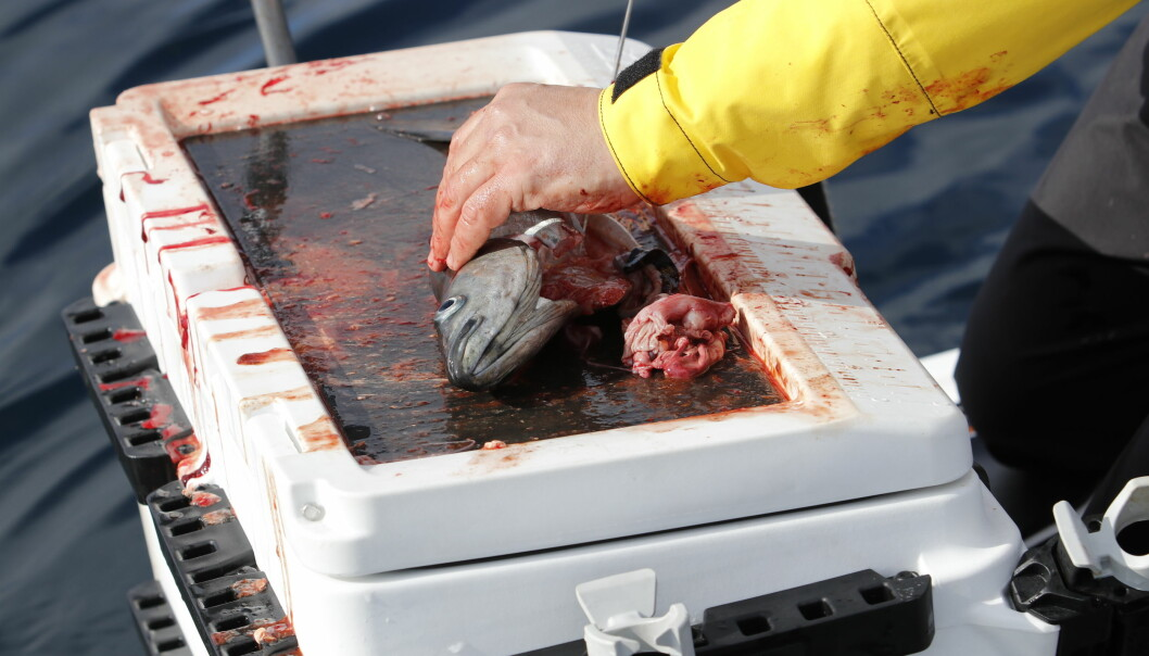PÅ SIN PLASS: Fiskeboks med skjærebrett kommer godt med under en fisketur.