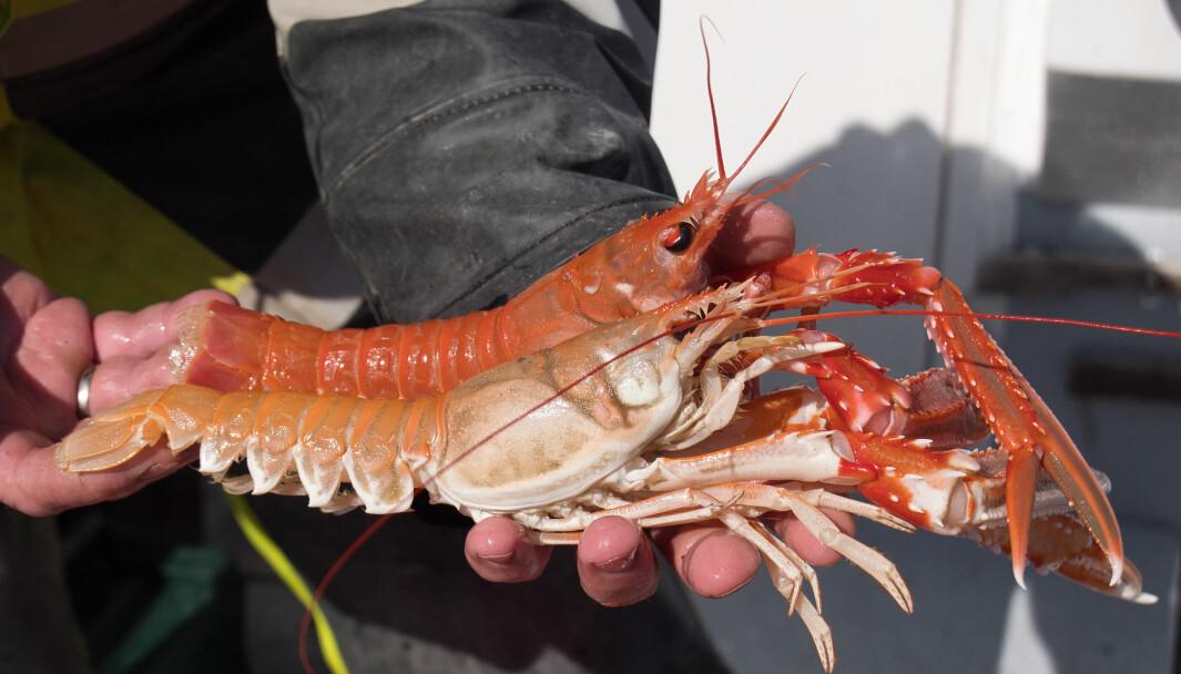 OPP FRA DYPET: Disse godbitene er hentet fra mer enn 60 meters dyp, og som mat trives de ekstra godt på grillen.