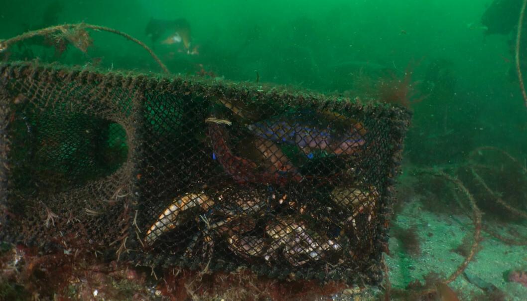 SPØKELSESFISKE: Teiner som blir glemt eller mistet fortsetter et nærmest evig fiske.